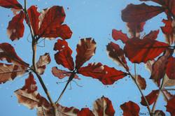 beach almond leaves