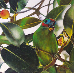 fig parrot 1