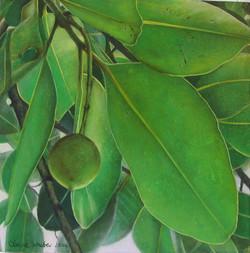 calophyllum 3