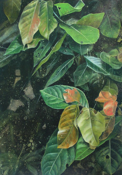 looking glass mangrove