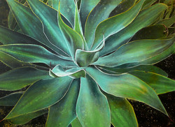 agave