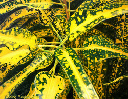 yellow and green croton 2