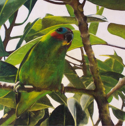 fig parrot 3