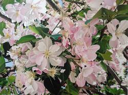 Qingdao cherry blossom