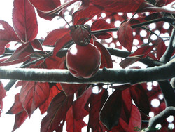 Penola plums 2