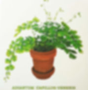 Black maidenhair fern 2.jpg