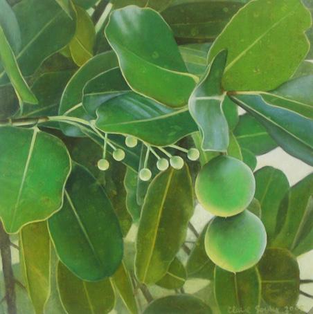 calophyllum 1
