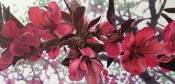 pink Qingdao blossom