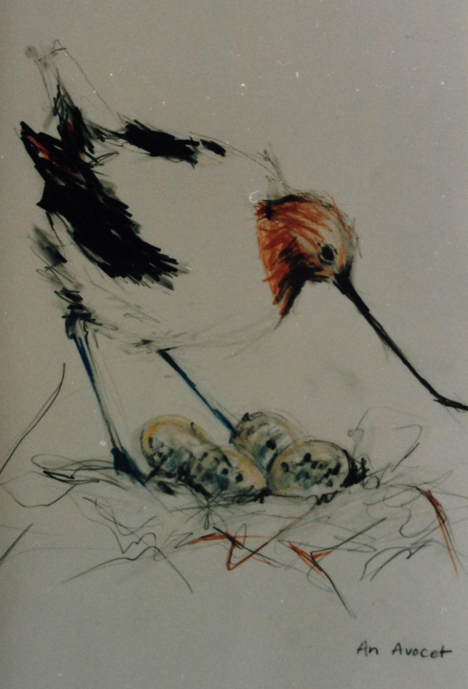 an avocet