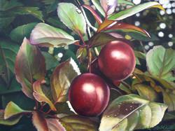 Penola plums 3