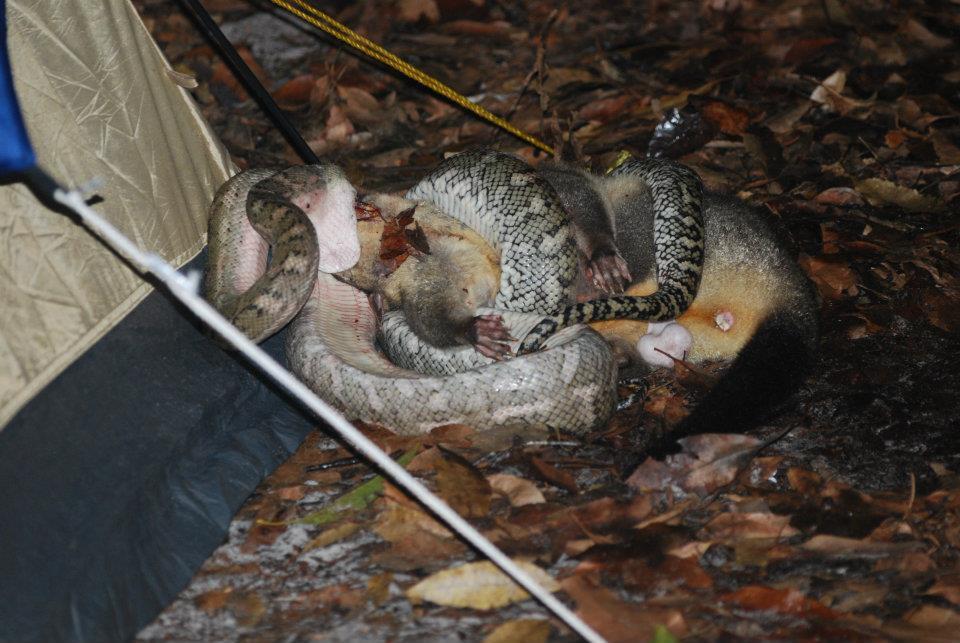 Python eating a Possom
