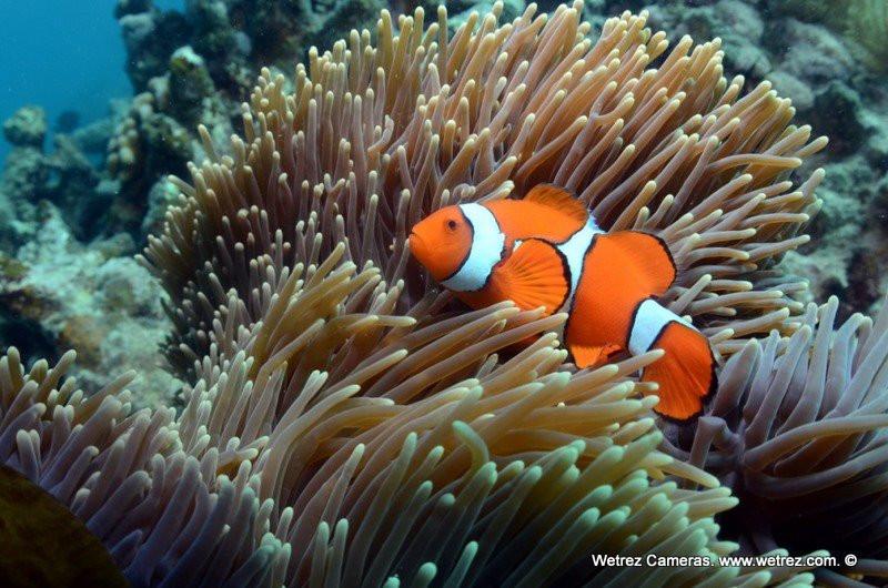 Great Barrier Reef Clownfish
