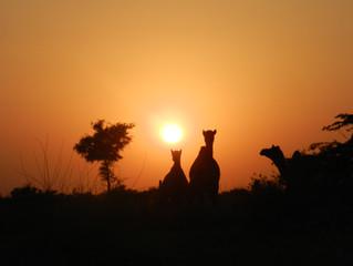 The Thar Desert Camel Safari Adventure, Rajasthan | India