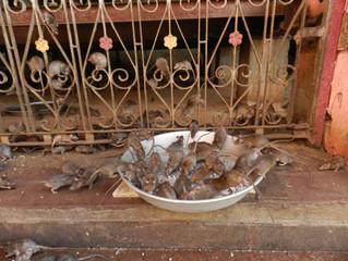 The Karni Mata Temple aka The Rat Temple in Bikaner, India