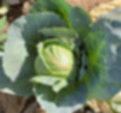 Petit Chou Cabbage 1 (2).jpg