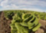 romaine lettuce feb 2019.PNG