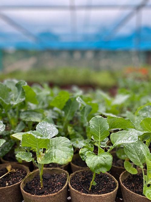 Seasonal Veggie Box 18 plants in Biodegradable Pots