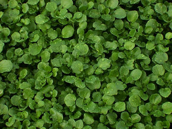 Watercress fields Haiti