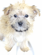 Shorkie puppies for sale in Passaic County NYC