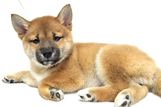 Shina Inu puppies for sale in Passaic County - NYC
