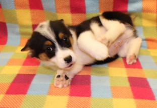 Corgle (Corgi/Beagle)