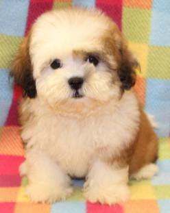 Teddy Bear (Shihtzu/Bichon)