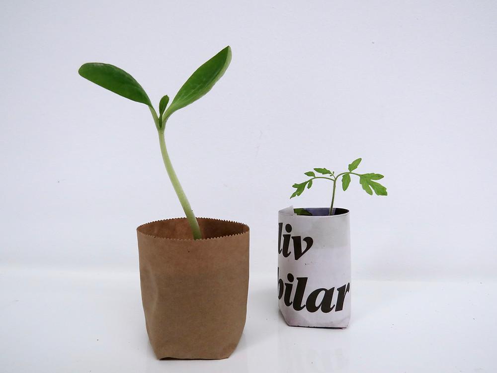 Förodla fröer inomhus, i miljövänliga tidningskrukor. Eco Grow