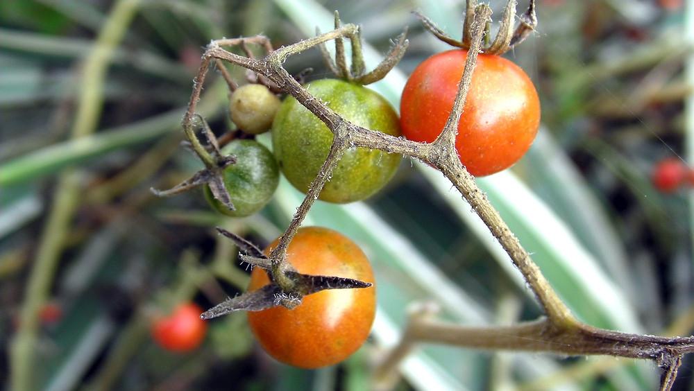 Ekologiska tomater, vilka ska tjuvas?