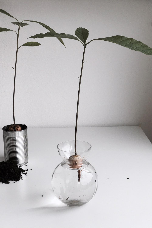Avokadoplanta steg för steg