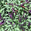 Thumbnail: CHILI - PURPLE CAYENNE