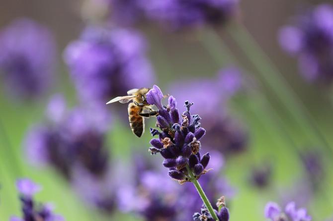 Veckans frösort - Lavendel
