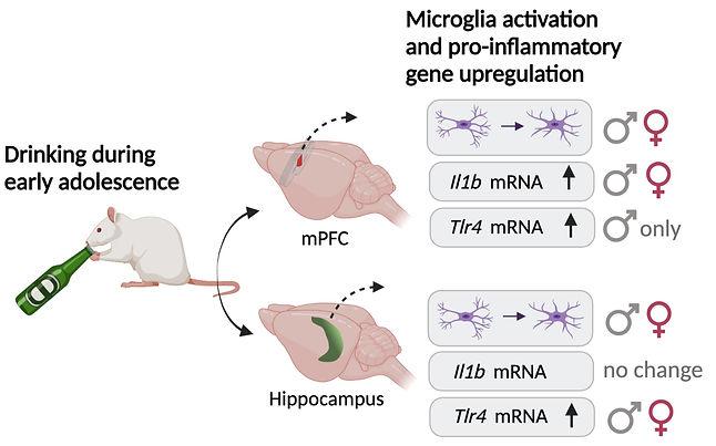 Summary of results - microglia alcohol paper_edited.jpg
