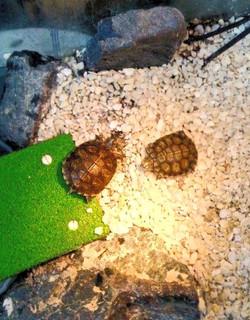 Junge Rotwangen-Schildkröten