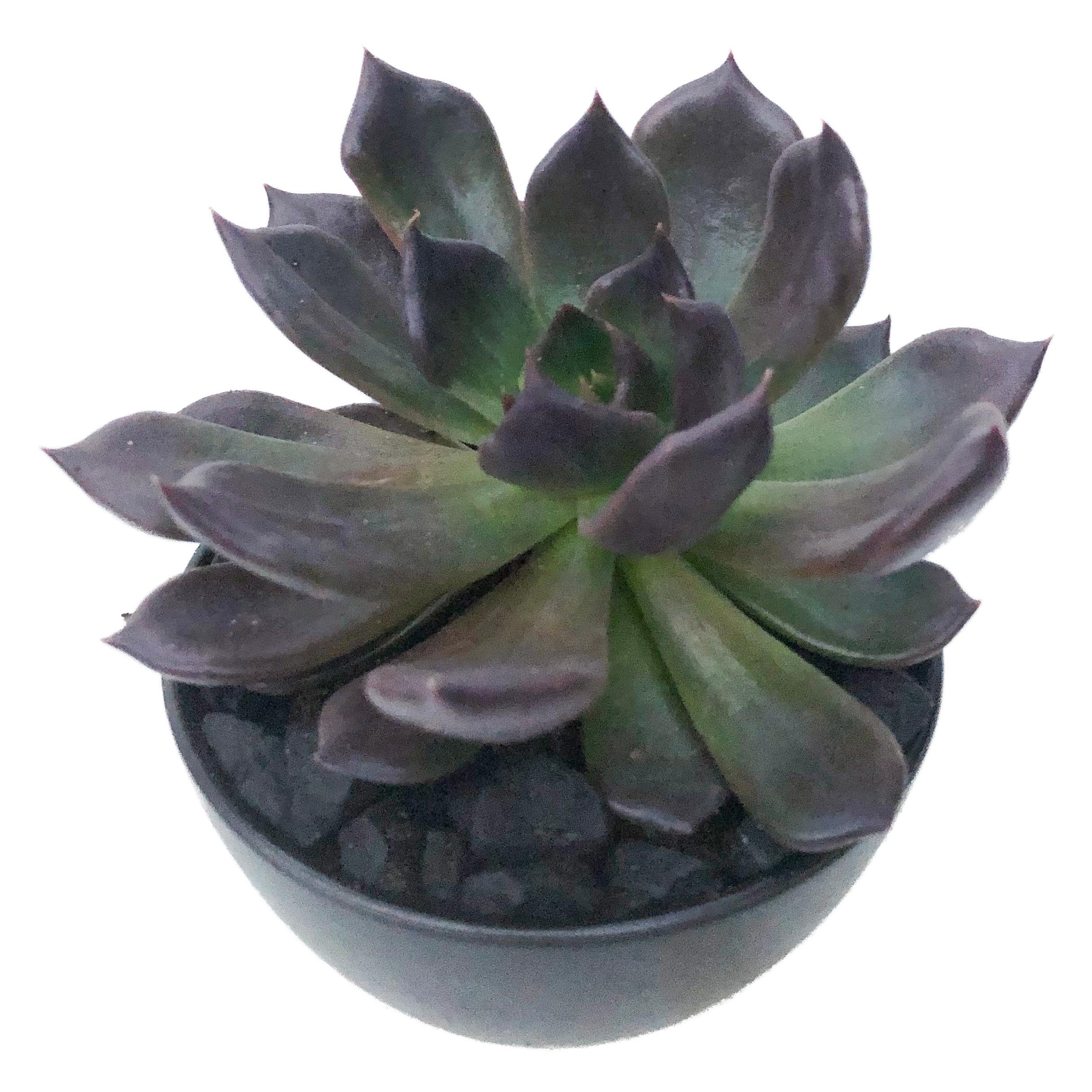 Echeveria Black Prince For Sale Clouds Hill Succulents