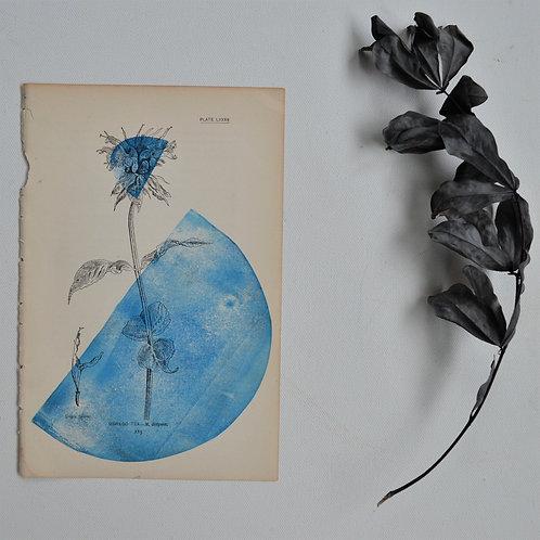 """Oswego Tea"" Block Print on Antique Page"