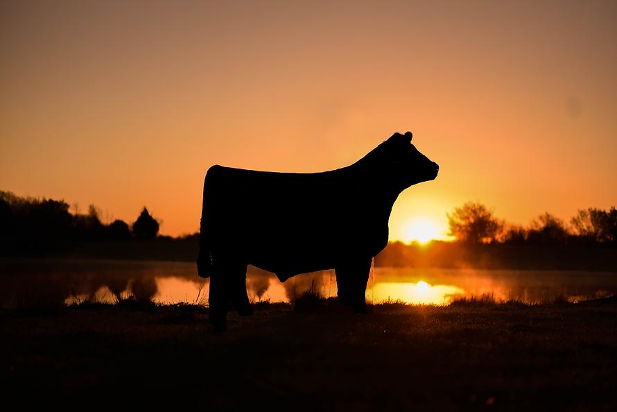 sunrise_steer.png