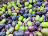 Harvesting Olives in Greece: A Labor of Love