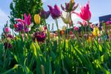 Tulips Everywhere: Visiting Keukenhof