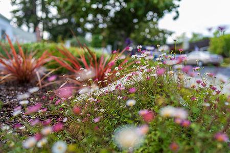 Santa Barbara daisy attracts bees; Phormium provides year-round color