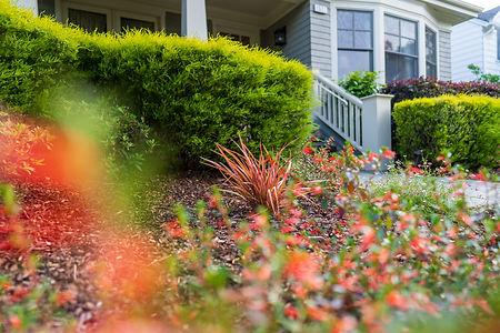 Firecracker bush, Cuphea Vermillionaire, hummingbird favorite