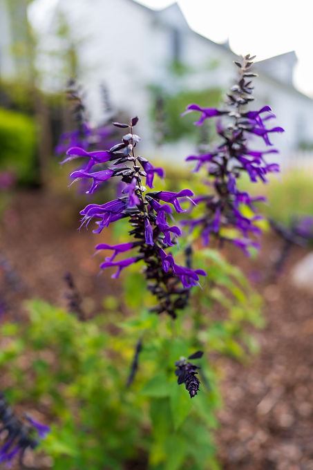 Stunning purple flowers of Friendship sage draw hummingbirds and other pollinators.