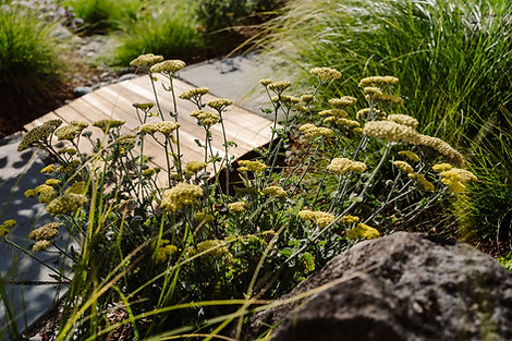 Dry meadow with yellow yarrow