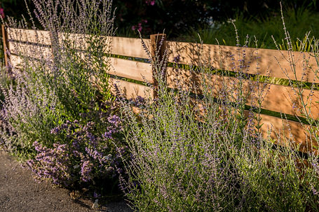 Lavendar anchors a modern horizonal slat front fence.