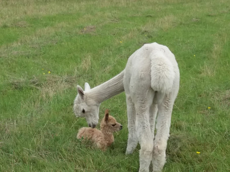 A Nice Early Alpaca Arrival! Meet Reef!