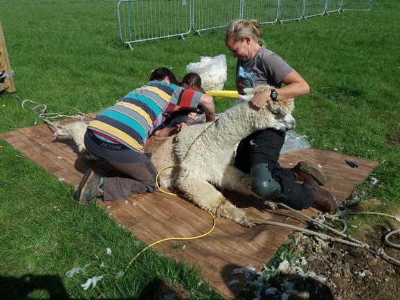 Gretal shearing head up.jpg