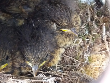 An update on Event Shelter Chaffinch Family!