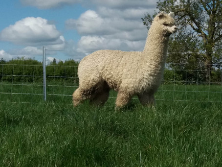 An Intro for our Alpaca Zinc, on his 1st Birthday