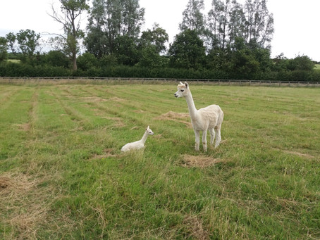 Welcome to the World-Meadow Valley's New Alpaca, Barry!