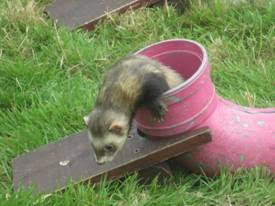 Dunster Country Fair Village Green - Ferret racing