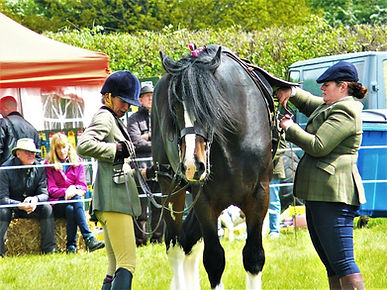 Ridden Shire Horse at Show